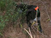 Case pointing on the retrieve in South Carolina